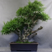 bb01---buxus-sempervirens---bonsai-buis-01