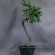 by11---buxus-sempervirens-yamadori---01