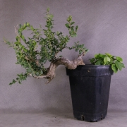 by35---buxus-sempervirens-yamadori-01