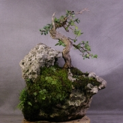 by35---buxus-sempervirens-yamadori-02