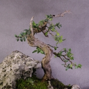 by35---buxus-sempervirens-yamadori-03