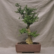 by46---buxus-sempervirens-yamadori---01