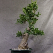 by46---buxus-sempervirens-yamadori-01