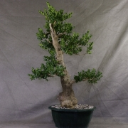by46---buxus-sempervirens-yamadori-02
