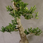 by46---buxus-sempervirens-yamadori-03