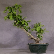 by56---buxus-sempervirens-yamadori-01