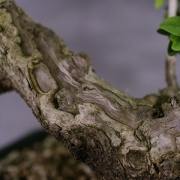 by56---buxus-sempervirens-yamadori-03