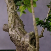 by56---buxus-sempervirens-yamadori-04