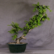 by56---buxus-sempervirens-yamadori-07