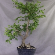 by61---buxus-sempervirens-yamadori-01