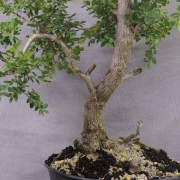 by61---buxus-sempervirens-yamadori-02