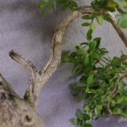 by61---buxus-sempervirens-yamadori-04