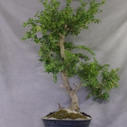 by61---buxus-sempervirens-yamadori-05