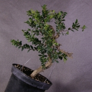 by63---buxus-sempervirens-yamadori-01