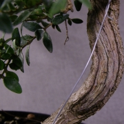 by63---buxus-sempervirens-yamadori-04