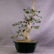 by66---buxus-sempervirens-yamadori-02