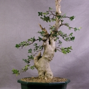 by66---buxus-sempervirens-yamadori-03