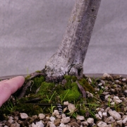 cbb01---carpinus-betulus-bonsai-02