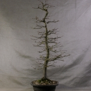 cbb01---carpinus-betulus-bonsai-03