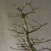 cbb01---carpinus-betulus-bonsai-05