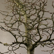 cbb01---carpinus-betulus-bonsai-06