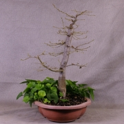 cby06---carpinus-betulus-bonsai-02