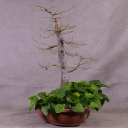 cby06---carpinus-betulus-bonsai-03