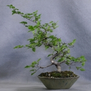 clb01---carpinus-laxiflora-bonsai-japon---02