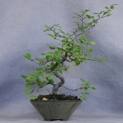 clb01---carpinus-laxiflora-bonsai-japon---03