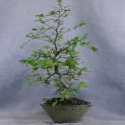 clb01---carpinus-laxiflora-bonsai-japon---04