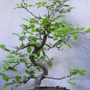 clb01---carpinus-laxiflora-bonsai-japon---05