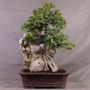 fb01---ficus-burtt-davyi-bonsai-01