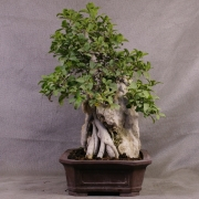 fb01---ficus-burtt-davyi-bonsai-04