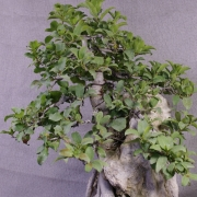 fb01---ficus-burtt-davyi-bonsai-05