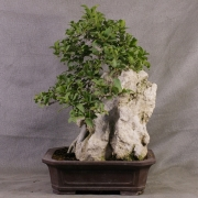 fb01---ficus-burtt-davyi-bonsai-06