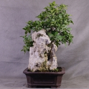 fb01---ficus-burtt-davyi-bonsai-07