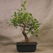 frb09---ficus-retusa-shohin-bonsai-01