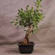 frb09---ficus-retusa-shohin-bonsai-02
