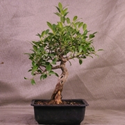 frb09---ficus-retusa-shohin-bonsai-03