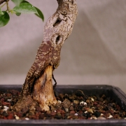 frb09---ficus-retusa-shohin-bonsai-04