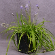iwb01---ipheion-uniflorum-wisley-blue-00