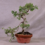 jco02---juniperus-chinensis-bonsai-01