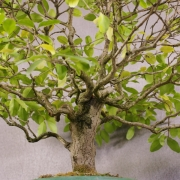 lv01---ligustrum-bonsai-02