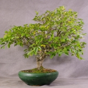 lv01---ligustrum-bonsai-03