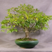 lv01---ligustrum-bonsai-04