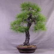 ptb03---pinus-thunbergii-bonsai-japon-016
