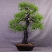 ptb03---pinus-thunbergii-bonsai-japon-022