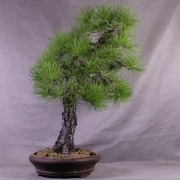 ptb03---pinus-thunbergii-bonsai-japon-052